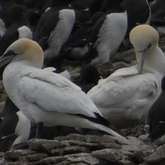 Gannets (2).jpg