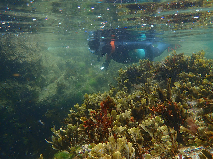 Snorkelling in the Berwickshire Marine Reserve