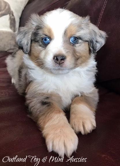 Texas mini aussie breeder MINI aussie puppies for sale in texas