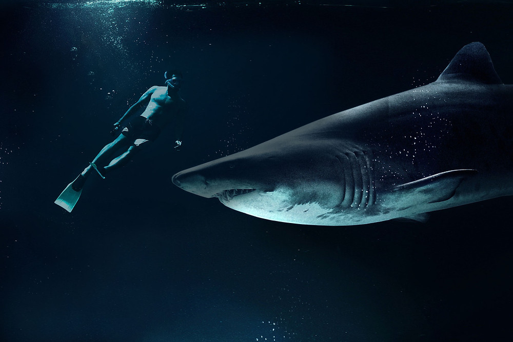 A person snorkels next to a large (menacing looking) great white shark