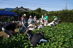 サツマイモ収穫①