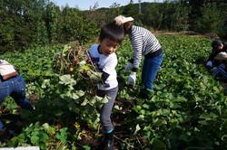 サツマイモ収穫②