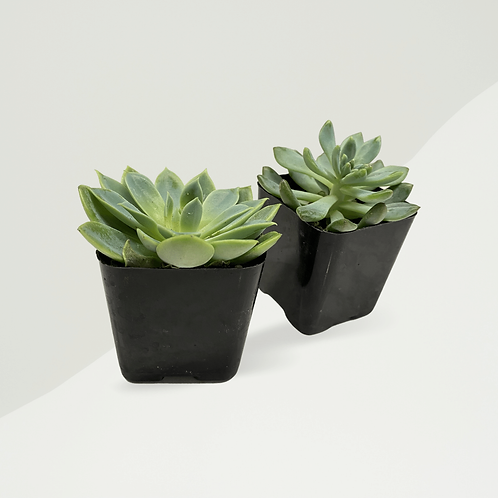 Real Succulent - Build Your Own Box