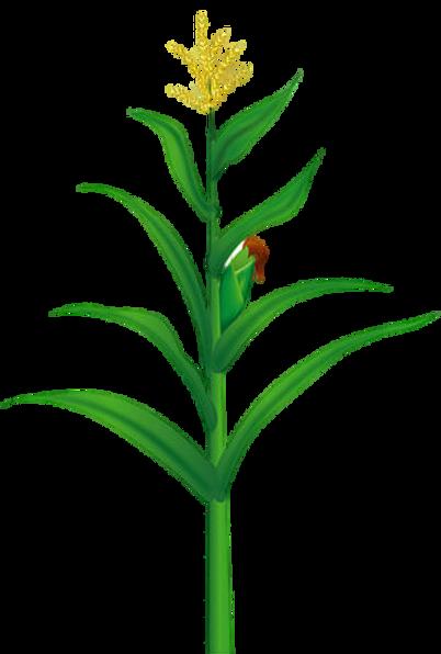 maize-food-illustration-yellow-corn-tree
