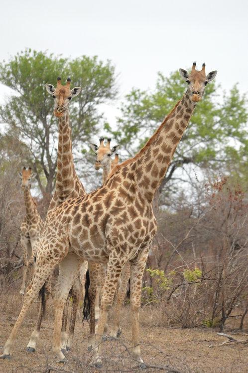 AFAL-033(p) Giraffe in Ngala, South Africa
