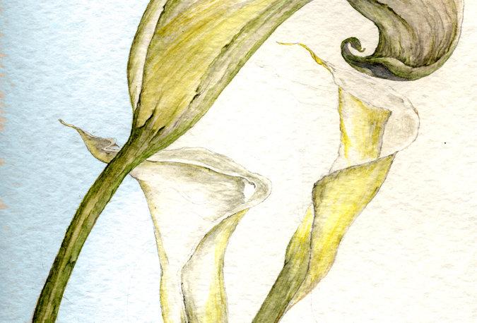 Calla Lilies (BP-0044)