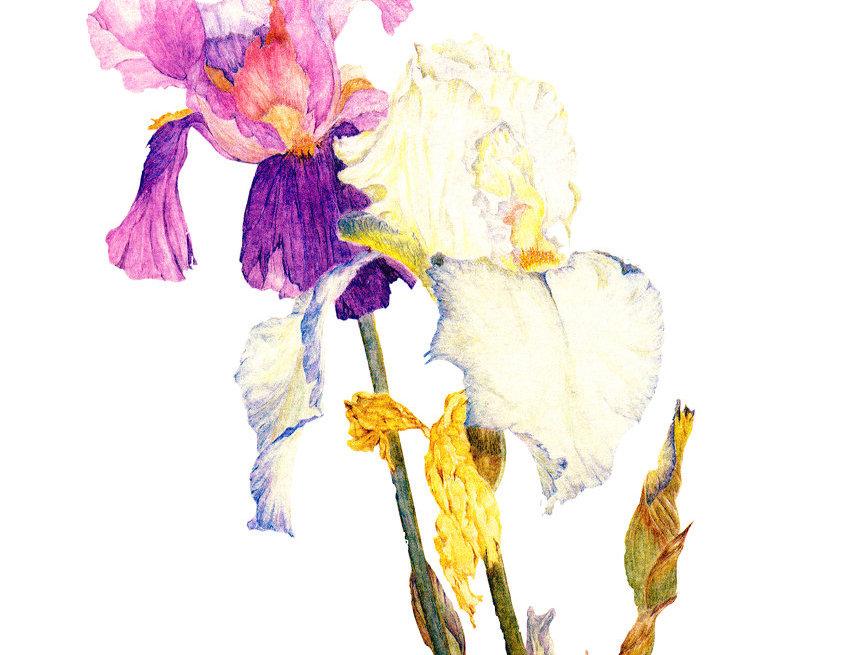 Irises (BP-0017)