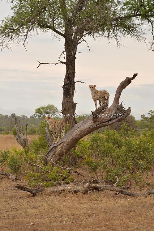 AFAL-003(p) Cheeta Lookout