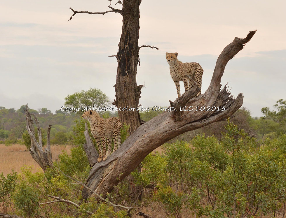 AFAL-003(p) Cheeta Lookout