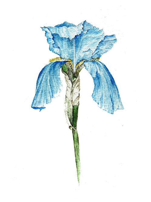 Blue Iris (BP-0042)