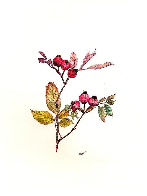 Pasture Rose (BP-0052)