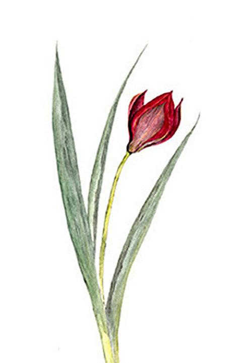 Tulipa (BP-0028)