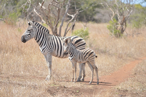 AFAL-016(p) Mom & Colt Zebra/ Phinda