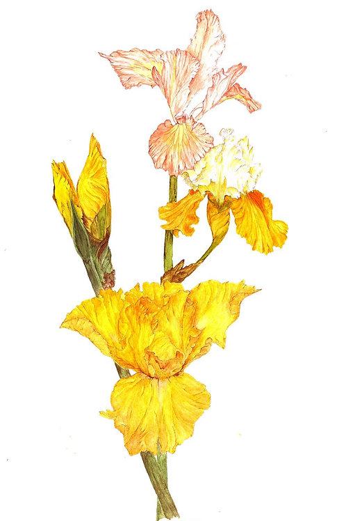 Iris-Moon Gold (BP-0024)
