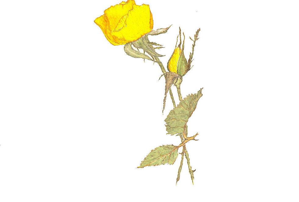 Anniversary Rose (BP-0004)