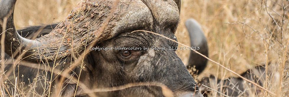 AFAL-006(p) Cape Buffalo Up-Close