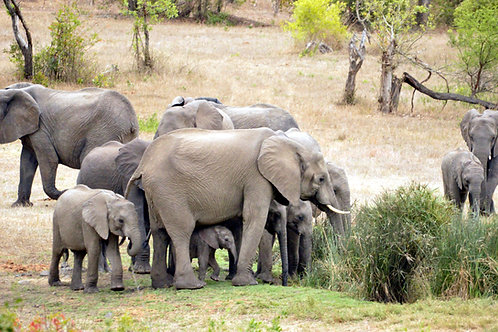 AFAL-031(p)African Elephant Families