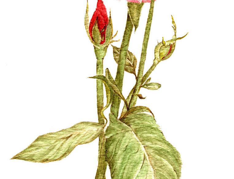 Perfection Rose (BP-0038)