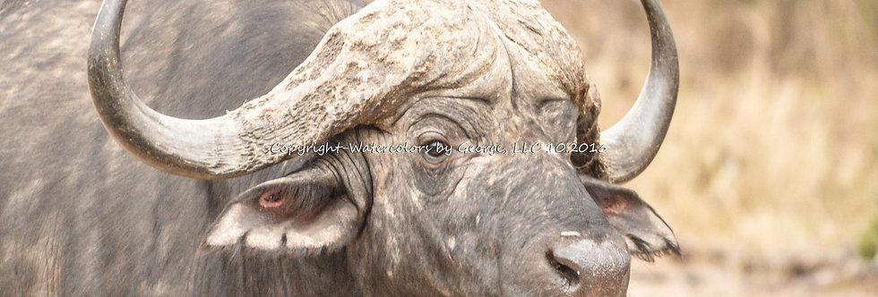 AFAL-008(p) Cape Buffalo-Up Close Too