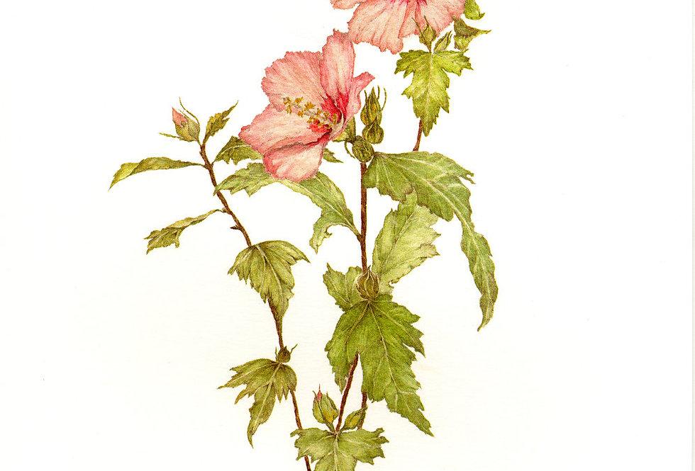 Rose of Sharon (BP-0010)