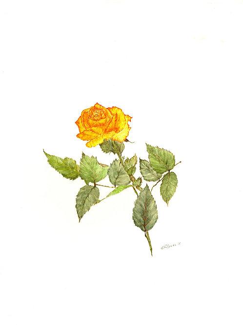 Celebration Rose (BP-0000)
