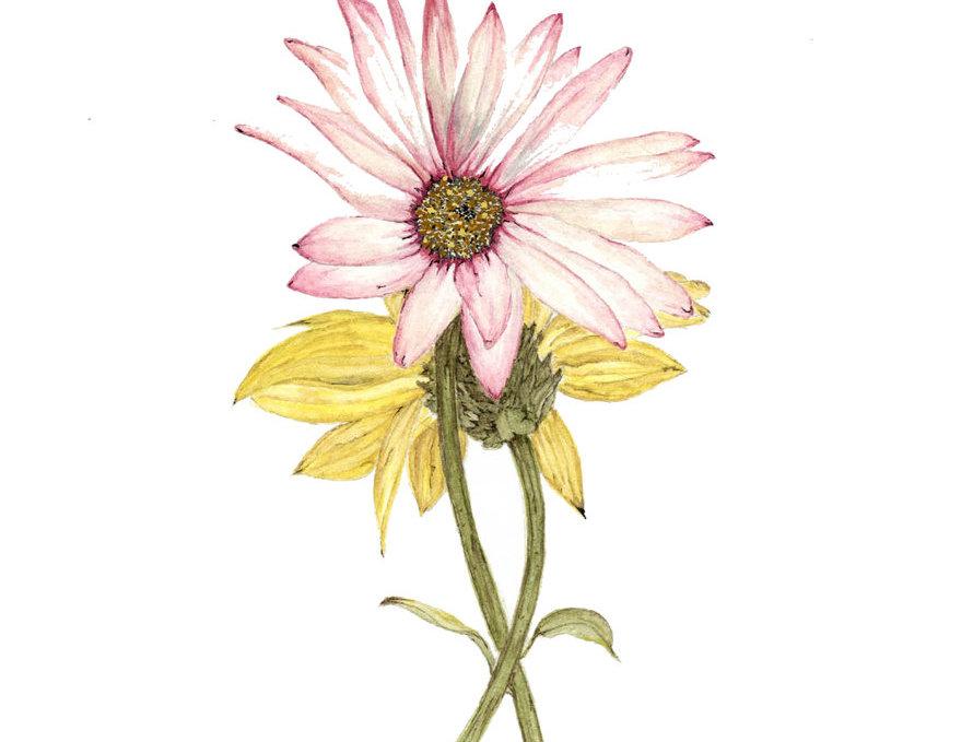 Simply Daisy II (BP-0032-II)
