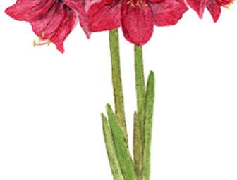 Amaryllis or Beautiful Lady (BP-0035)