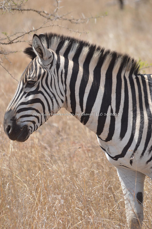 AFAL-017(p)  Common Zebra