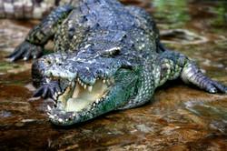 Thai croc