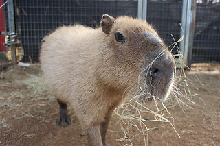 capybara 2020.jpg