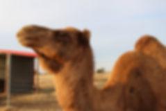 camel 3 111819.jpg