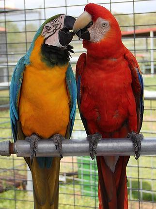 macaws Morgan and BigBird.jpg