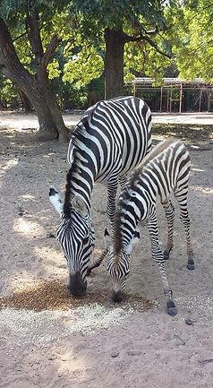 mom and baby zebra.jpg