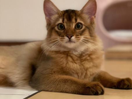 ソマリ子猫の日常