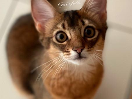 ソマリルディの子猫