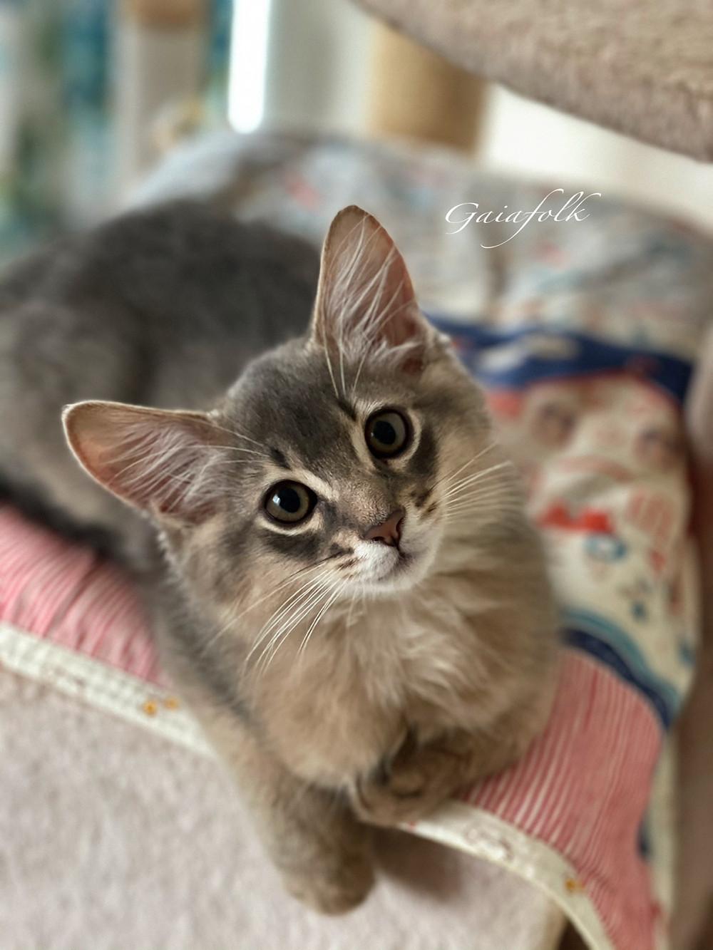 ソマリブルーの子猫/カイル
