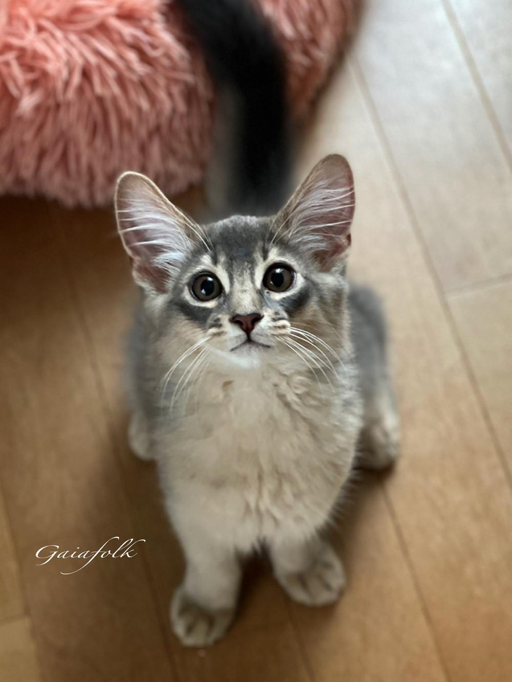 ソマリブルー シエルくん 子猫
