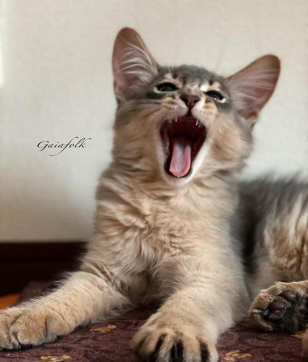 ソマリの子猫/ソマリブルー/シエルくんの大あくび