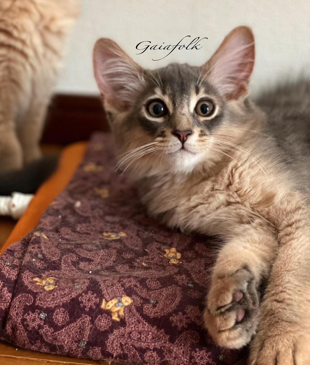 ソマリの子猫/ソマリブルー/シエルくん