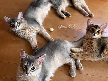 ソマリきょうだい達♪先住猫さんがいるお家にお譲りする時。