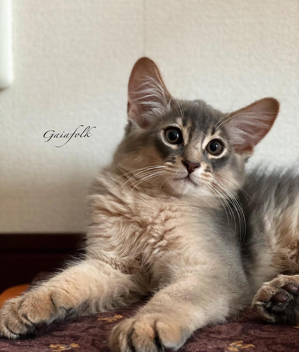 ソマリの子猫/ブルー/シエルくん