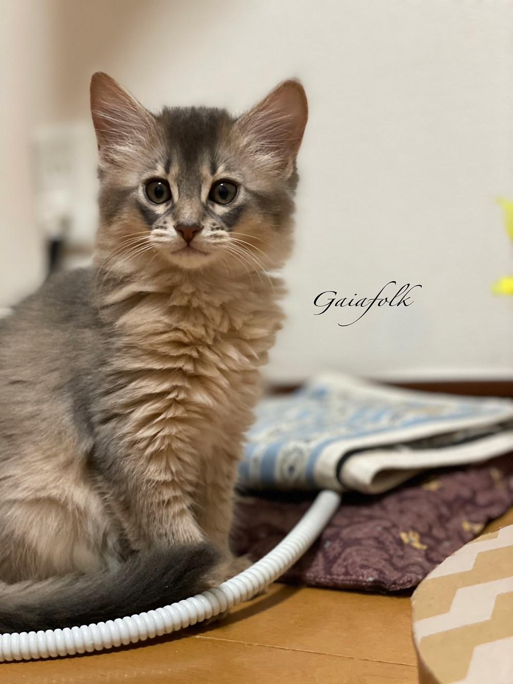 ソマリ ブルー子猫の女の子