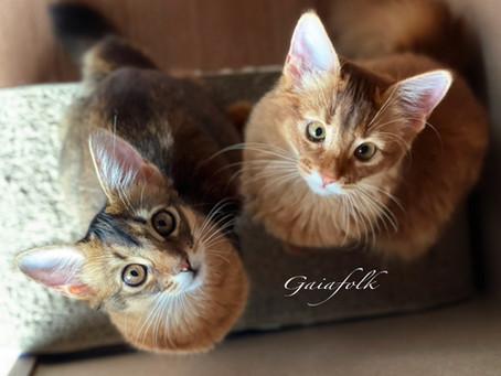 ソマリ子猫のオーナー様募集