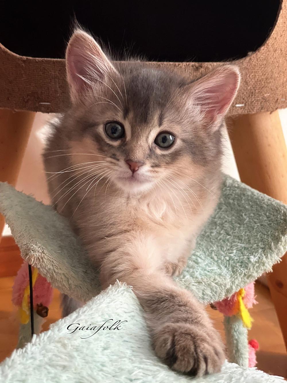 ソマリ ブルーの子猫