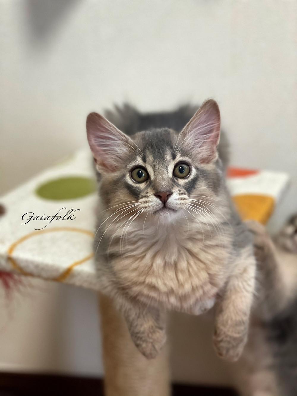 ソマリブルー 子猫