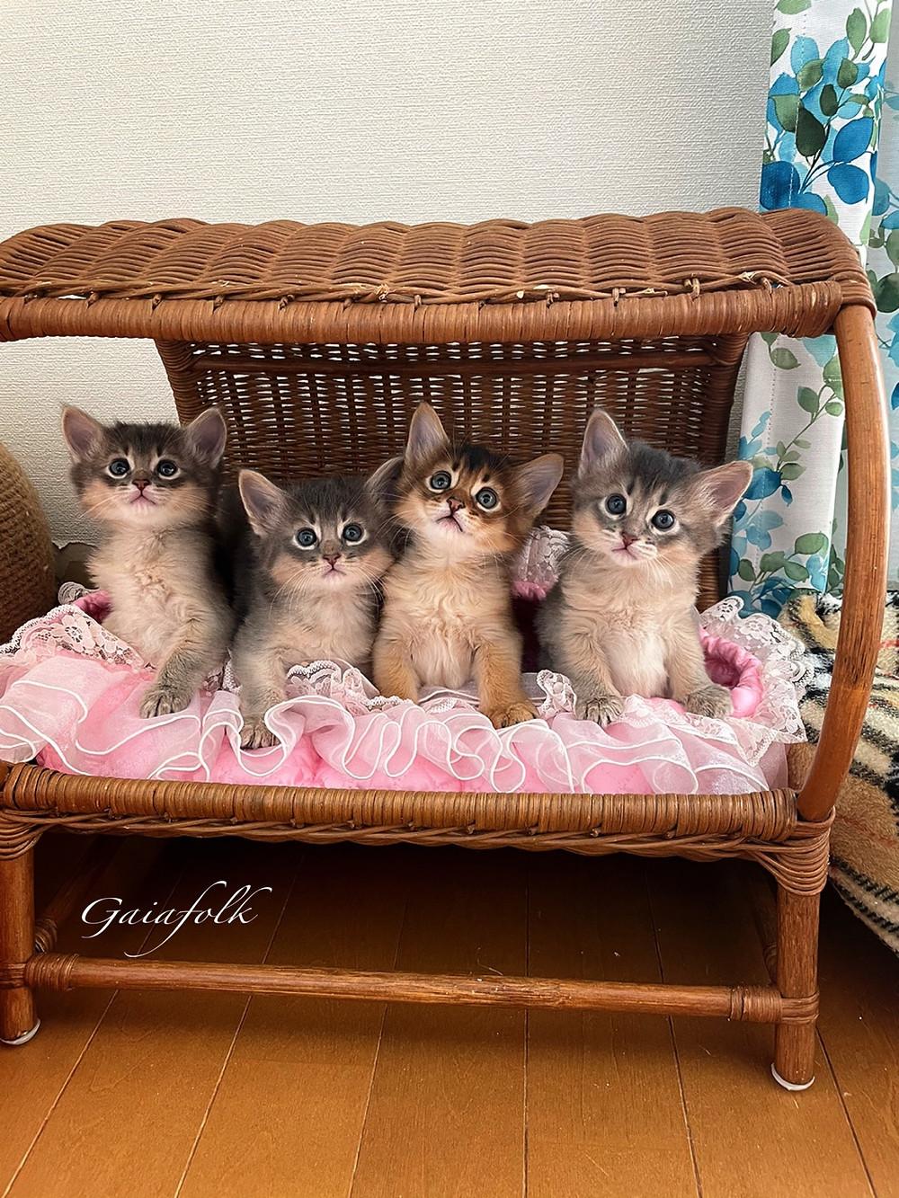 ソマリ子猫、ブルーソマリとルディ