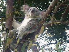 Koala-Bär
