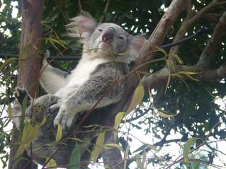 Koala Relaxation