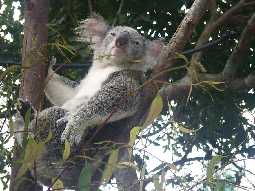 Koala Arthurs Seat Quarry