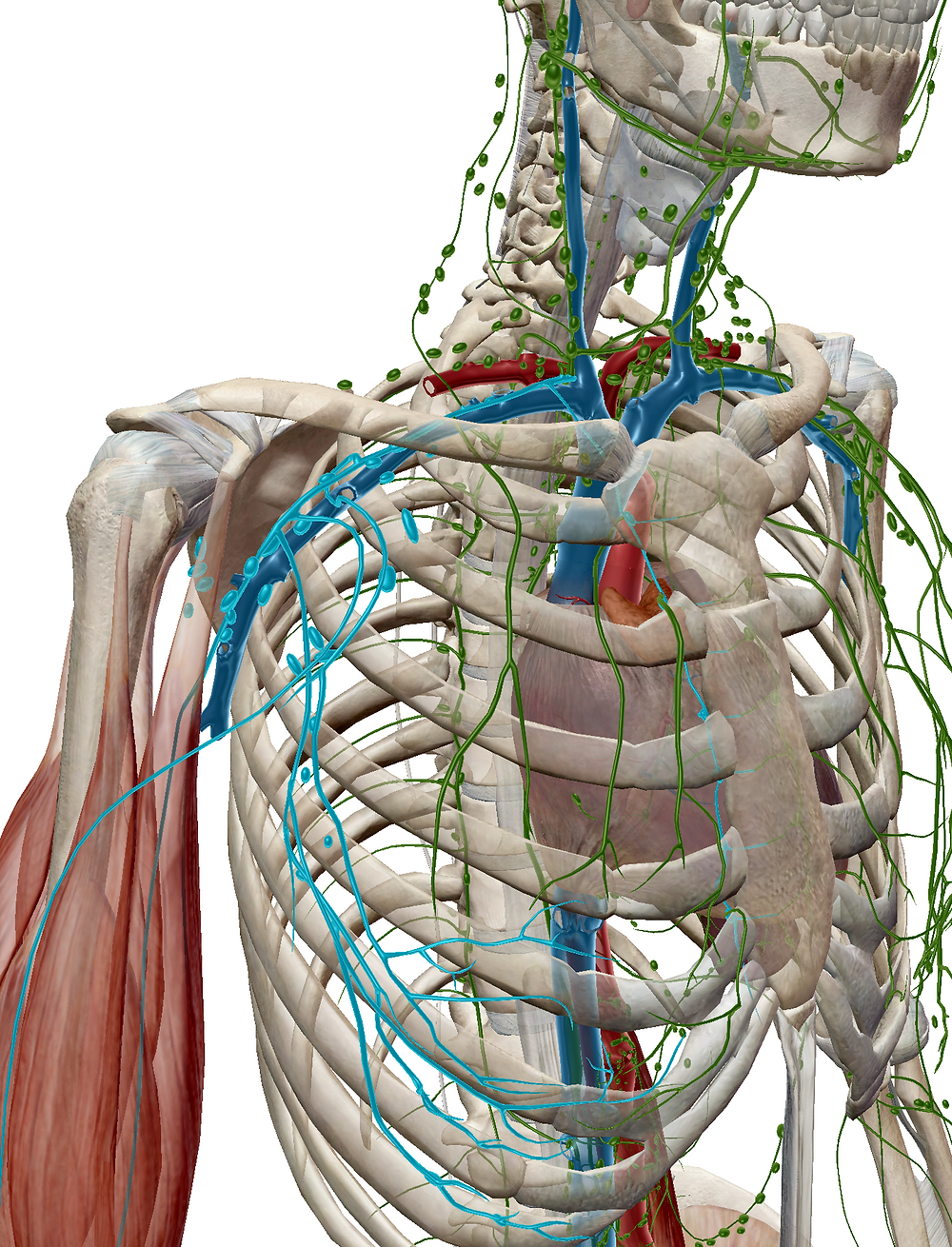 Axillary lymph node highlighted in blue.